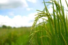 Rice Spike In Rice Field