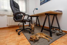 Bengali Cats In The Interior O...