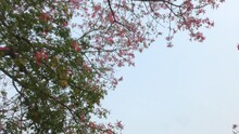 Walk Below Red Flower Trees Which Are Full Of Green Leaves