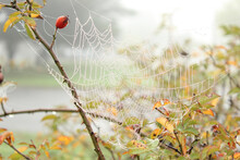 Cobweb On A Rose Hip Bush, Yellow Leaves And Berries On A Bush In The Morning Fog, Bush And Cobweb In The Dew