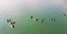 Group Of Ducks Floating On The...