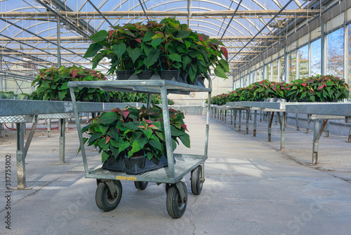 Small red poinsettia plants on a greenhouse shopping cart. Wallpaper Mural