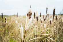Dry Reeds On The Swamp In Autu...