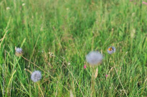 Fototapeta Oset z owadem na zielonej polanie obraz