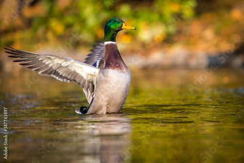 Obraz mallard duck portrait in pond - fototapety do salonu