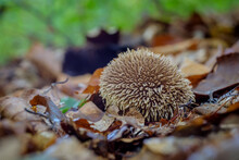 Mushroom Lycoperdon Echinatum (spiny Puffball Or The Spring Puffball) Close Up In Autumn Forest