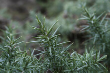 Close Of Of Green Gorse Spikes (ulex Europaeus)