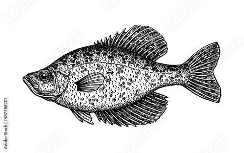 Fotografiet Crappie fish ink sketch