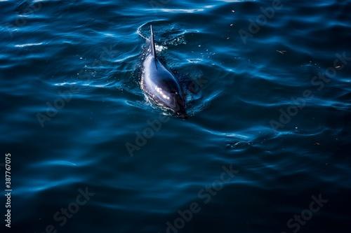 Fotografiet Dolphin 2