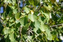 Fresh Green Ficus Religiosa Leaves In Nature Garden
