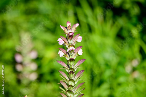 Valokuva Many small white flowers of Acanthus mollis plant, commonly known as bear's breeches, sea dock, bearsfoot or oyster plant in s sunny summer  garden