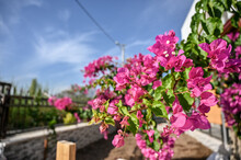 Pink Bougainvillea Flower At Garden With Blue Sky.
