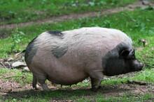A Pot-bellied Pig
