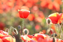 Blooming Poppy In A Summer Fie...