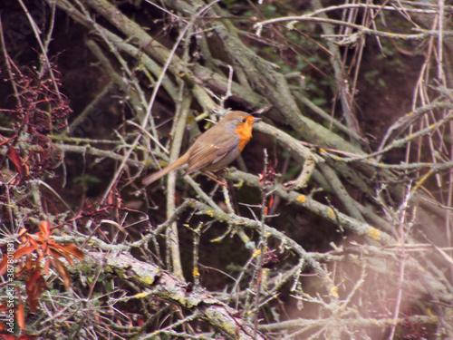 Fototapeta ptak dziki rudzik Erithacus rubicola mały zwierze  obraz