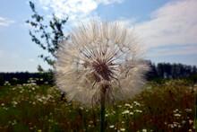 Tragopogon Meadow Salsify Head False Dandelion Close-up On A Background Of Blue Sky