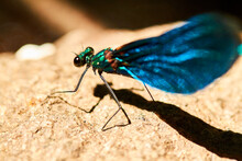Blue Dragonfly Resting On A Rock