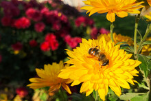 Bee Sit In Center Of Bright Yellow Flower, Picking Up Nectar. Autumn Season, Last Opportunity To Get Nectar For Bee.