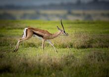 Wild Thompson's Gazelle Or Eud...
