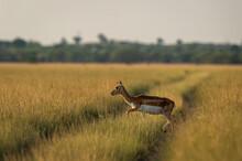 Blackbuck Or Antilope Cervicapra Or Indian Antelope Crossing Track In Grassland Of Tal Chhapar Sanctuary Rajasthan India