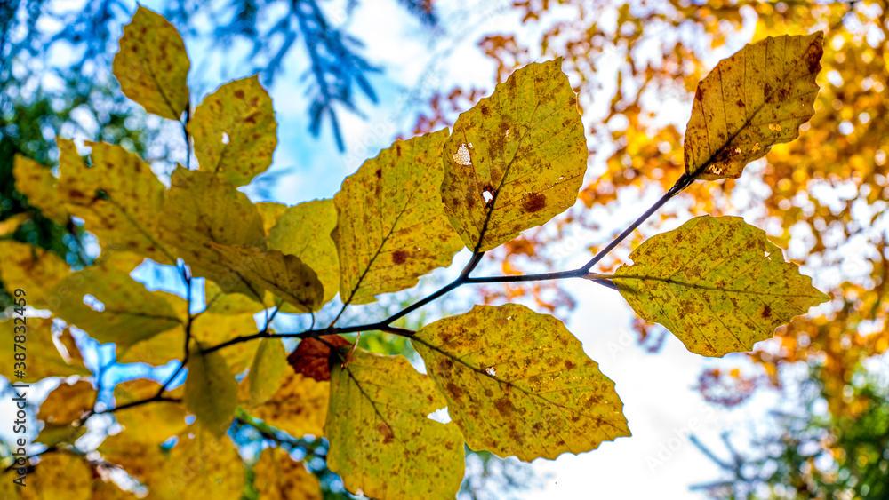 Fototapeta Kolory jesieni, październik w lesie. Beskid Śląski, Polska
