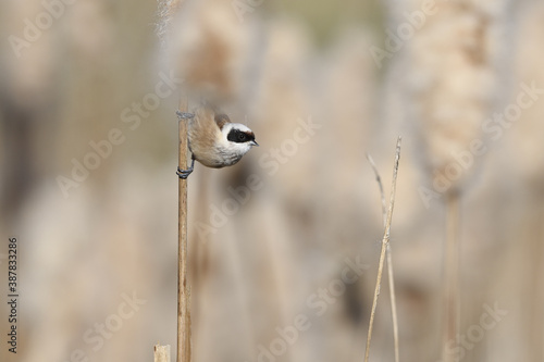 Eurasian penduline tit perched on reed Canvas Print