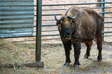 Close Up Of Takin Or Budorcas ...