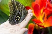 Owl Butterfly On Hand