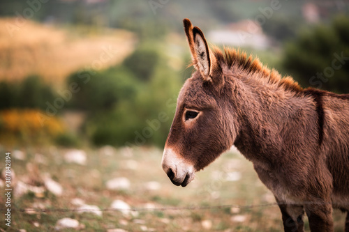 Fotografia, Obraz Close-up portrait of a young cute donkey in a field on a warm summer day