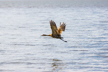 Sandhill Crane In Flight Over ...