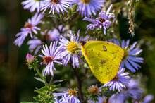Cloudless Sulphur Butterfly On...