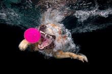 Golden Retriever Dog Playing With Purple Ball Underwater