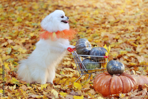 Obraz White pomeranian  with a shopping cart full of pumpkins - fototapety do salonu