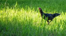 Hen In The Grass