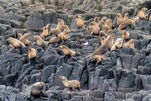 Sea Lions Colonie
