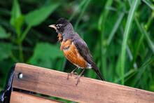 Preening Robin
