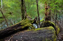 Tree Logs Covered In Moss In T...