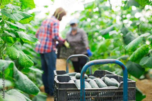 german farmers picking crops of cucumber in hothouse Billede på lærred