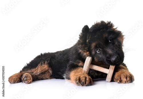 Foto puppy german shepherd