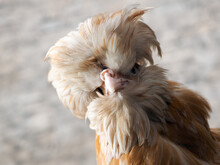 Rare Exotic Hens With Large Pl...