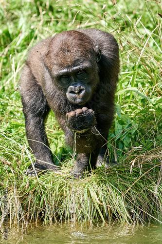 Fototapeta Western lowland gorilla (Gorilla gorilla gorilla)