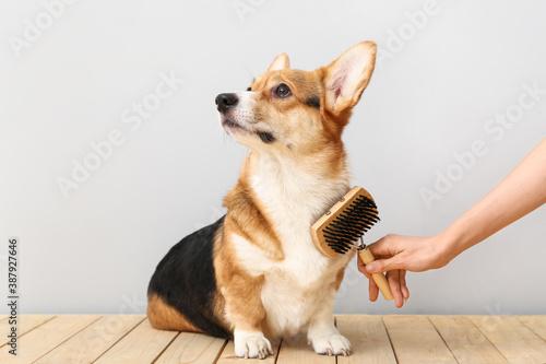 Fototapeta Owner brushing cute dog on light background