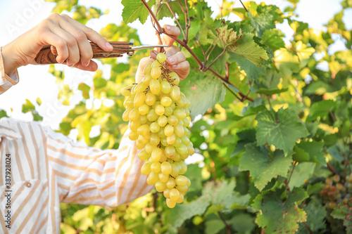Woman cutting cluster of fresh ripe juicy grapes with pruner in vineyard Wallpaper Mural