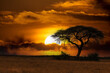 canvas print picture orange african sunset over acacia tree with big sun, nature wilderness scene, Africa safari