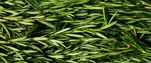 Macro Fresh Rosemary Green Org...