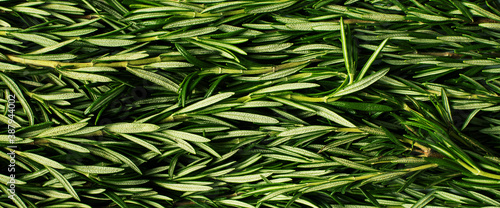 Fototapeta Macro fresh rosemary green organic background obraz
