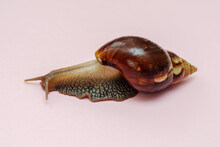 Big African Snail Achatina On ...