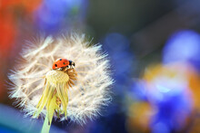 A Little Ladybug Is Walking Th...