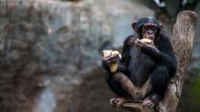 Old Chimpanzee Sitting On A Tr...