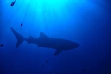 Whale Shark Scene Landscape / ...